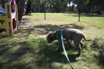 Alvin-Poodle-Banksia Park Puppies - 27 of 31