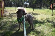 Alvin-Poodle-Banksia Park Puppies - 28 of 31