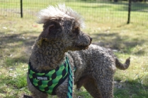 Alvin-Poodle-Banksia Park Puppies - 29 of 31