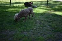 Alvin-Poodle-Banksia Park Puppies - 4 of 31