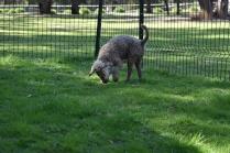 Alvin-Poodle-Banksia Park Puppies - 5 of 31