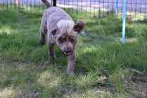 Alvin-Poodle-Banksia Park Puppies - 7 of 31