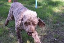 Alvin-Poodle-Banksia Park Puppies - 8 of 31