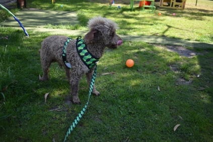 Alvin-Poodle-Banksia Park Puppies - 9 of 31