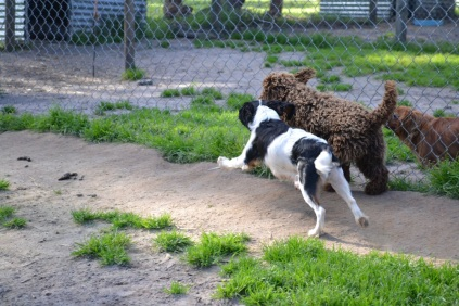 Banksia Park Puppies Amaze and Bell 4