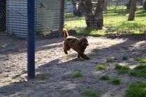 Banksia Park Puppies Amaze