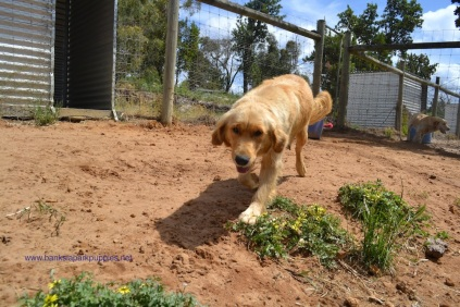 Banksia Park Puppies Amilia