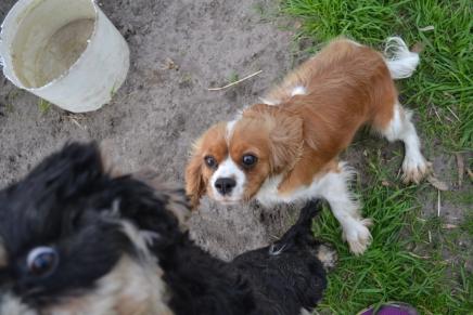 Banksia Park Puppies Angelina