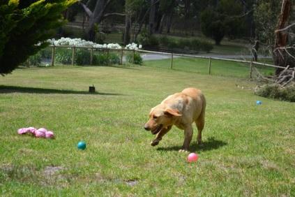 Banksia Park Puppies Asha