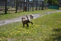 Banksia Park Puppies Ayanna