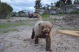 Banksia Park Puppies Ayasha - 10 of 36