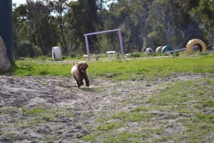 Banksia Park Puppies Ayasha - 13 of 36