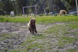 Banksia Park Puppies Ayasha - 15 of 36