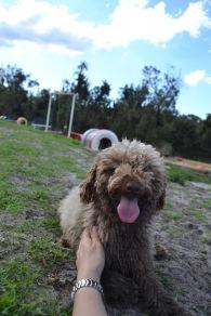 Banksia Park Puppies Ayasha - 23 of 36