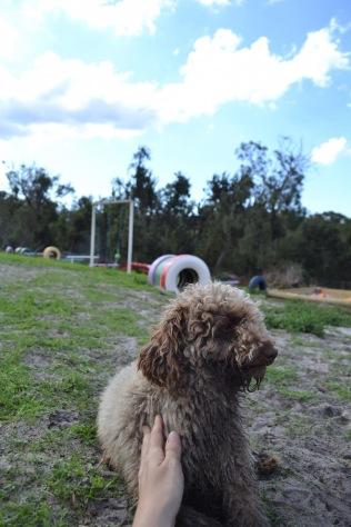 Banksia Park Puppies Ayasha - 26 of 36