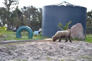 Banksia Park Puppies Ayasha - 3 of 36