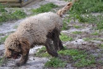 Banksia Park Puppies Ayasha - 33 of 36