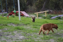 Banksia Park Puppies Ayasha - 35 of 36