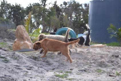 Banksia Park Puppies Ayasha - 4 of 36