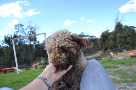 Banksia Park Puppies Ayasha - 6 of 36
