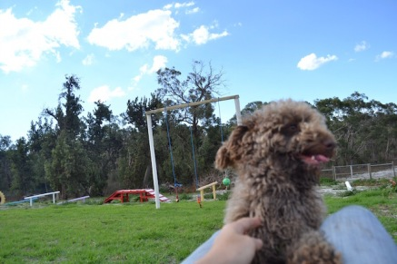 Banksia Park Puppies Ayasha - 7 of 36