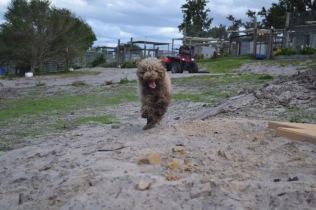 Banksia Park Puppies Ayasha - 9 of 36