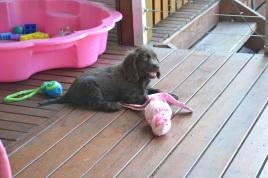 Banksia Park Puppies Bailey b