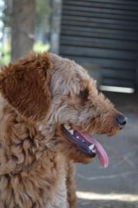 Banksia Park Puppies Blue