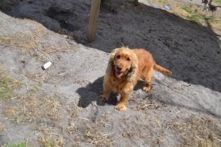 Banksia Park Puppies Bobo