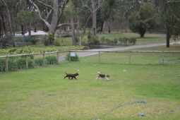 Banksia Park Puppies Bridey