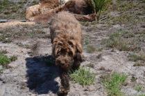 Banksia Park Puppies Bradey - 1 of 8 (3)