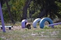 Banksia Park Puppies Bradey - 1 of 8 (4)