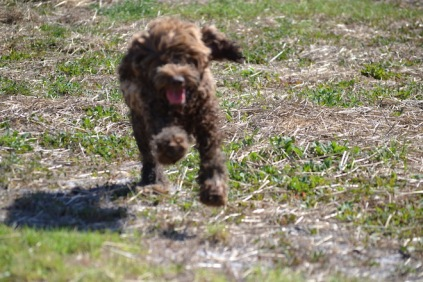 Banksia Park Puppies Bradey - 1 of 8 (6)