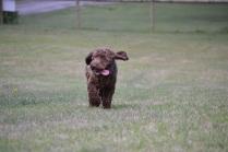 Banksia Park Puppies Bradey