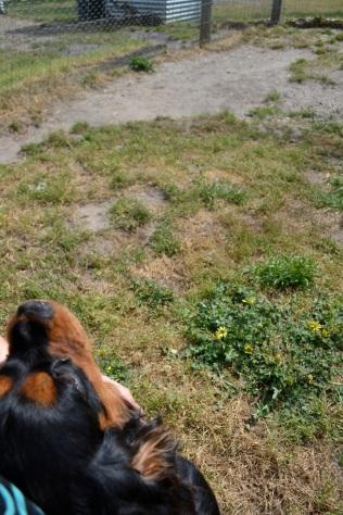 Banksia Park Puppies Brenda