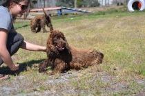 Banksia Park Puppies Bridey - 1 of 16 (3)
