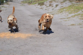 Banksia Park Puppies Brutus - 1 of 20 (1)