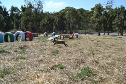 Banksia Park Puppies Brutus - 1 of 20 (15)