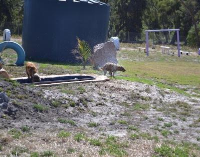 Banksia Park Puppies Brutus - 1 of 20 (17)