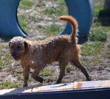 Banksia Park Puppies Brutus - 1 of 20 (18)