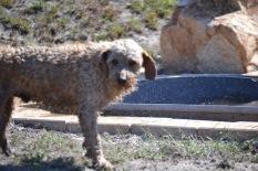 Banksia Park Puppies Brutus - 1 of 20 (19)