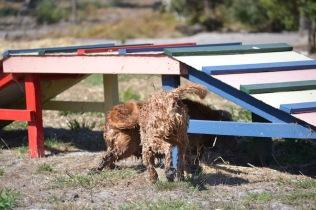 Banksia Park Puppies Brutus - 1 of 20 (2)