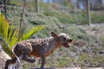 Banksia Park Puppies Brutus - 1 of 20 (7)