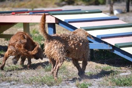 Banksia Park Puppies Brutus - 1 of 20 (8)