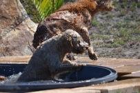 Banksia Park Puppies Brutus - 1 of 20