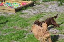 Banksia Park Puppies Brutus - 11 of 14
