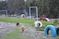 Banksia Park Puppies Brutus - 3 of 14