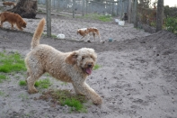 Banksia Park Puppies Brutus