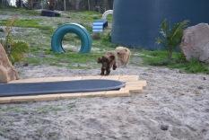 Banksia Park Puppies Brutus - 6 of 14