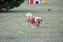 Banksia Park Puppies Carlo